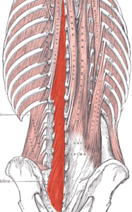 Muscles multifides