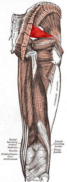 muscle piriforme